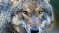 Un loup a tué un veau et blessé une vache dans la nuit de dimanche à lundi dans un enclos en Meuse, selon leur propriétaire, une première qui suscite déjà la colère des éleveurs d'ovins dans le département [Patrick Pleul / DPA/AFP/Archives]