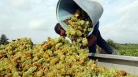 Récolte de raisin à Rivesaltes, le 7 août 2015  [RAYMOND ROIG / AFP/Archives]