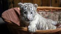 Un bébé tigre blanc au zoo de Kunming, le 12 octobre 2018, dans la province du Yunnan, en Chine [FRED DUFOUR / AFP]