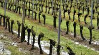 Des pieds de vigne ayant perdu toutes leurs feuilles suite à de violents orages dans l'Ouest, le 26 mai 2018 à Macau, dans le bordelais [GEORGES GOBET / AFP]
