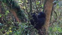 Un gorille de l'Est dans une réserve naturelle en République démocratique du Congo.