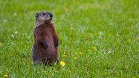 La marmotte volait les légumes du jardinier. (illustration)