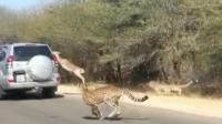 Une antilope saute dans une voiture pour échapper à un guépard.