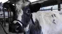 Parfaite ambassadrice de sa race, la vache laitière Imminence est la nouvelle égérie du Salon de agriculture 2019.