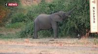 Botswana : la chasse à l'éléphant divise