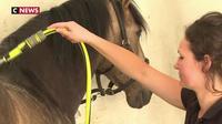 Canicule : des soins spécifiques pour les chevaux de Chantilly