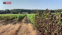Canicule : les récoltes brûlées dans certains vignobles