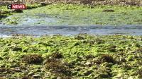 Algues vertes : mort suspecte d'un jeune ostréiculteur en Bretagne