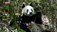 Chine : 27.000 km2 de réserve pour les pandas géants
