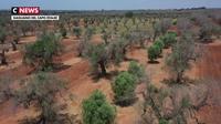 Un espoir face à la lèpre tueuse d'oliviers