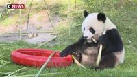 Les 2 ans du panda du Zoo de Beauval