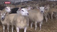 Loire-Atlantique : des éleveurs fatigués par le vol répété de leurs moutons