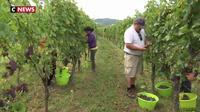 Alsace : un millésime 2019 de grande qualité pour le Crémant ?
