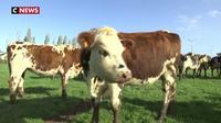 Agriculture : les vaches normandes menacées par les mauvaises ondes