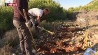 Marseille : des scientifiques tentent de replanter l'astragale dans les calanques