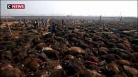Népal : des sacrifices d'animaux qui font polémique
