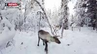 Arctique : les rennes menacés par le réchauffement climatique