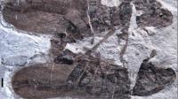 Le fossile des deux Anthocytina perpetua en accouplement depuis 165 millions d'années