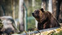 La population d'ours a triplé en Slovaquie en vingt ans.