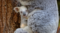 Le petit koala blanc, né en janvier à l'Australia Zoo, ne quitte pas sa mère Tia.
