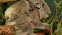 Un koala porte son bébé sur le dos dans un parc de Sydney, le 28 juin 2011 (image d'illustration)