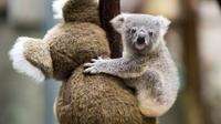 Le koala pourrait totalement disparaître dans les prochaines années.