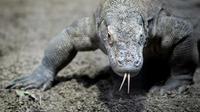 Les dragons de Komodo souffrent de la dégradation de leur environnement.