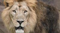 L'homme a été tué par l'un des deux lions qu'il gardait chez lui.