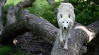 Les loups les moins agressifs auraient vécu à la périphérie des humains chasseurs-cueilleurs jusqu'à être domestiqués en «chiens» au cours des migrations humaines.