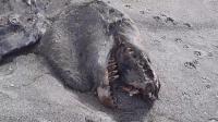 La créature a été retrouvée sur une plage au nord de la Nouvelle-Zélande