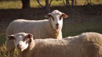La plante pousse les moutons au suicide, ils se cognant la tête jusqu'à la mort.