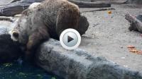 L'ours s'y est pris à deux reprises pour sauver le corbeau de la noyade