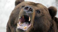Les ours bruns ont pour habitude d'enterrer leur proie et de ne pas les manger tout de suite.