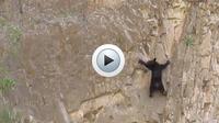 L'intrépide ourson qui fait de l'escalade