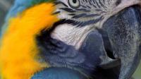 Le perroquet dénonce le meurtrier de sa maîtresse
