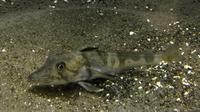 Un des poissons-glace accueillis à l'aquarium de Tokyo