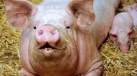 Fendeur de porcs, un métier très ancien