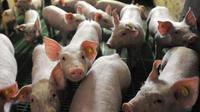 Des cochons dans leur élevage à Wambrechies, près de Lille (photo d'illustration).