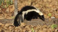 Réveillés de leur hibernation par un hiver très doux, les putois sont sortis en masse de leurs tanières.