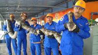 Le python de 8 mètres découvert en Malaisie