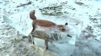 Pas de trucage sur cette photo d'un renard piégé dans un bloc de glace.