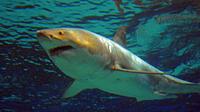 Un plongeur a fait une étonnante découverte après avoir photographié un grand requin blanc non loin de l'île mexicaine de Guadalupe (Image d'illustration).