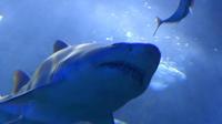 Le squale mâle de 3,5 m, pêché jeudi soir, a été autopsié vendredi matin par les scientifiques du centre de sécurité requin (CSR). (illustration)