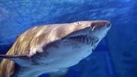 Il s'agit d'un jeune requin bleu, espèce inoffensive pour l'homme, d'environ un mètre de long (illustration).