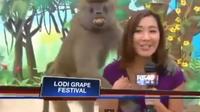 """Un babouin coquin """"dérange"""" la présentatrice"""