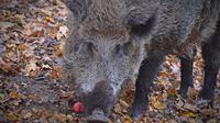 Le sanglier a chargé à trois reprises le chasseur puis a disparu dans les bois.