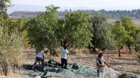 Pour éviter le chômage, de nombreux Italiens optent pour le retour à la terre, ici en Sicile.