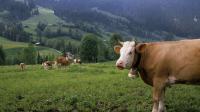 Pour remplacer les traditionnelles cloches, ces vaches sont désormais traçables par GPS.