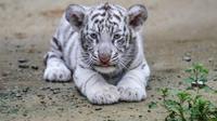 La population du tigre du Bengale est estimée aujourd'hui à 4.000 individus.
