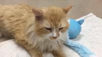 Le chat Toby, recueilli par l'association de protection des animaux de Wake County.